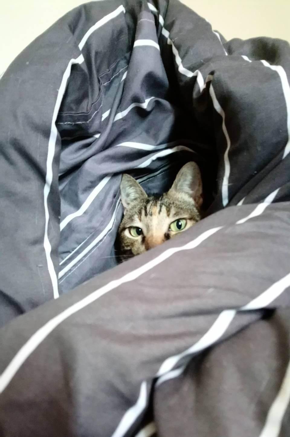 貓咪躲在棉被裡