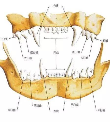 貓咪牙齒結構