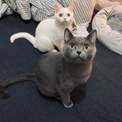 送養貓咪品種