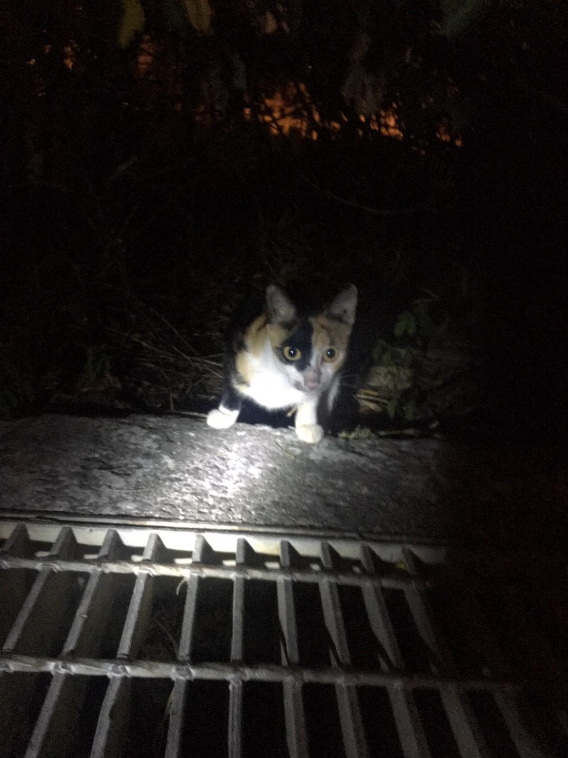 貓咪走失-問野貓1
