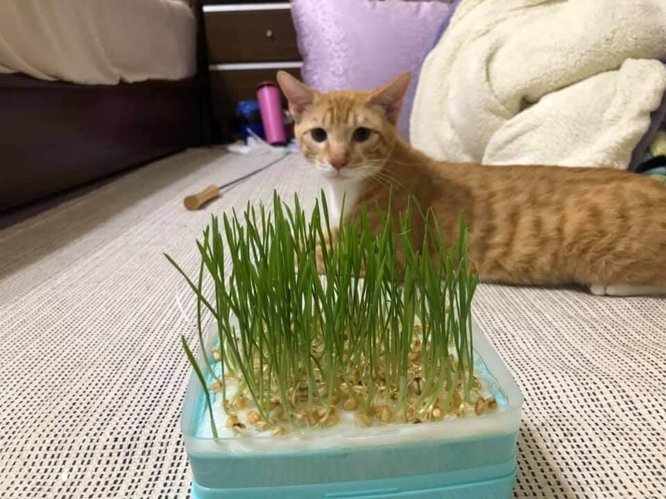 貓草是什麼1